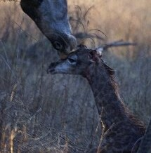 The Birth Of A Giraffe